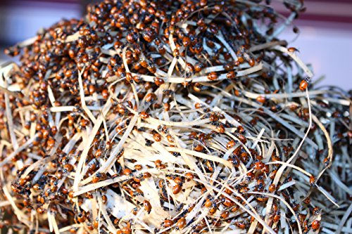 18000-Live-Ladybugs-Good-Bugs-Ladybugs-Guaranteed-Live-Delivery-0-1