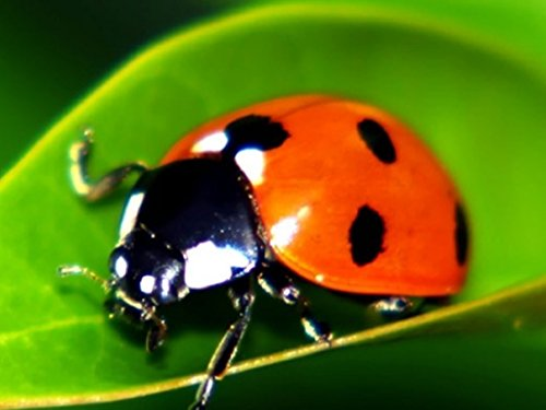18000-Live-Ladybugs-Good-Bugs-Ladybugs-Guaranteed-Live-Delivery-0