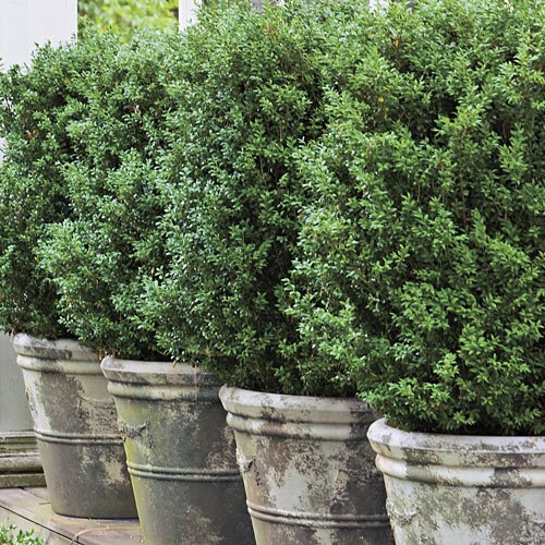 American-Boxwood-Lot-of-10-plants-in-quart-containers-Traditional-evergreen-hedge-0-1