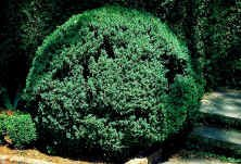 American-Boxwood-Lot-of-10-plants-in-quart-containers-Traditional-evergreen-hedge-0