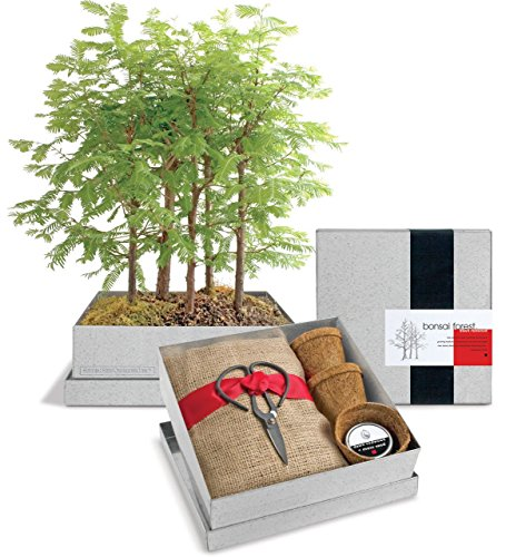 Dawn-Redwood-Forest-Bonsai-Box-0