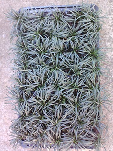 Grass-Dwarf-Mondo-Grass-Ophiopgon-Japonicus-Nana-Tray-of-40-plantplugs-Ideal-for-mass-plantings-and-lining-out-stock-0