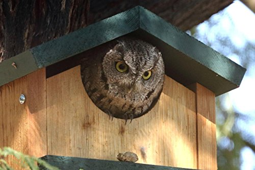 Screech-Owl-or-Saw-Whet-Owl-House-Cedar-Nesting-Box-JCs-Wildlife-0-1