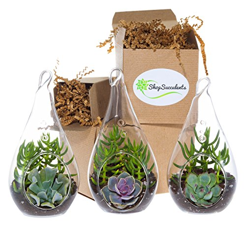 Shop-Succulents-Decorative-Glass-Succulent-Design-Trio-0